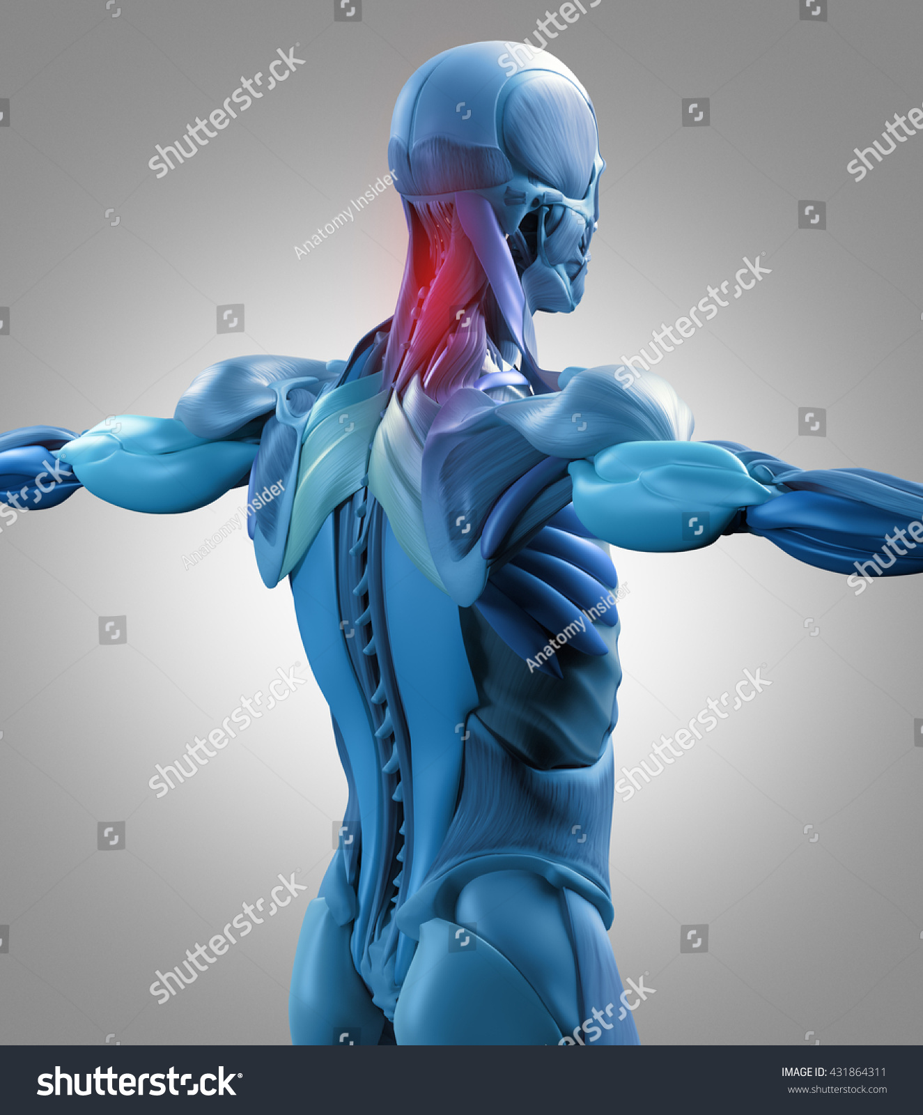 Human Anatomy Muscle Groups Torso Back Stock Illustration 431864311 ...