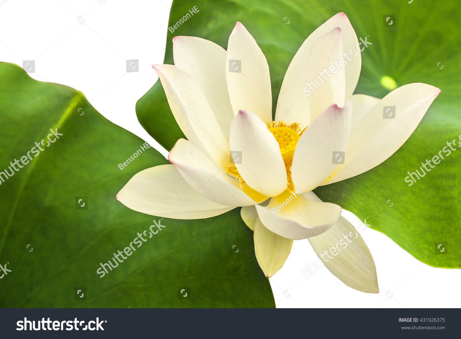 Closeup shot white lotus flower pink stock photo 431926375 a close up shot for a white lotus flower with pink topped petals in blossom izmirmasajfo Image collections
