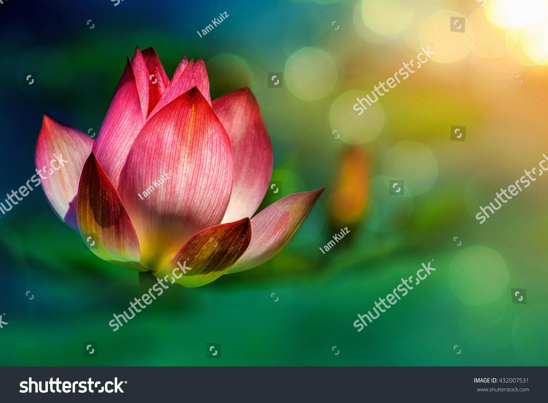 Fine Art Photography Lotus Flower Stock Photo Edit Now 432007531