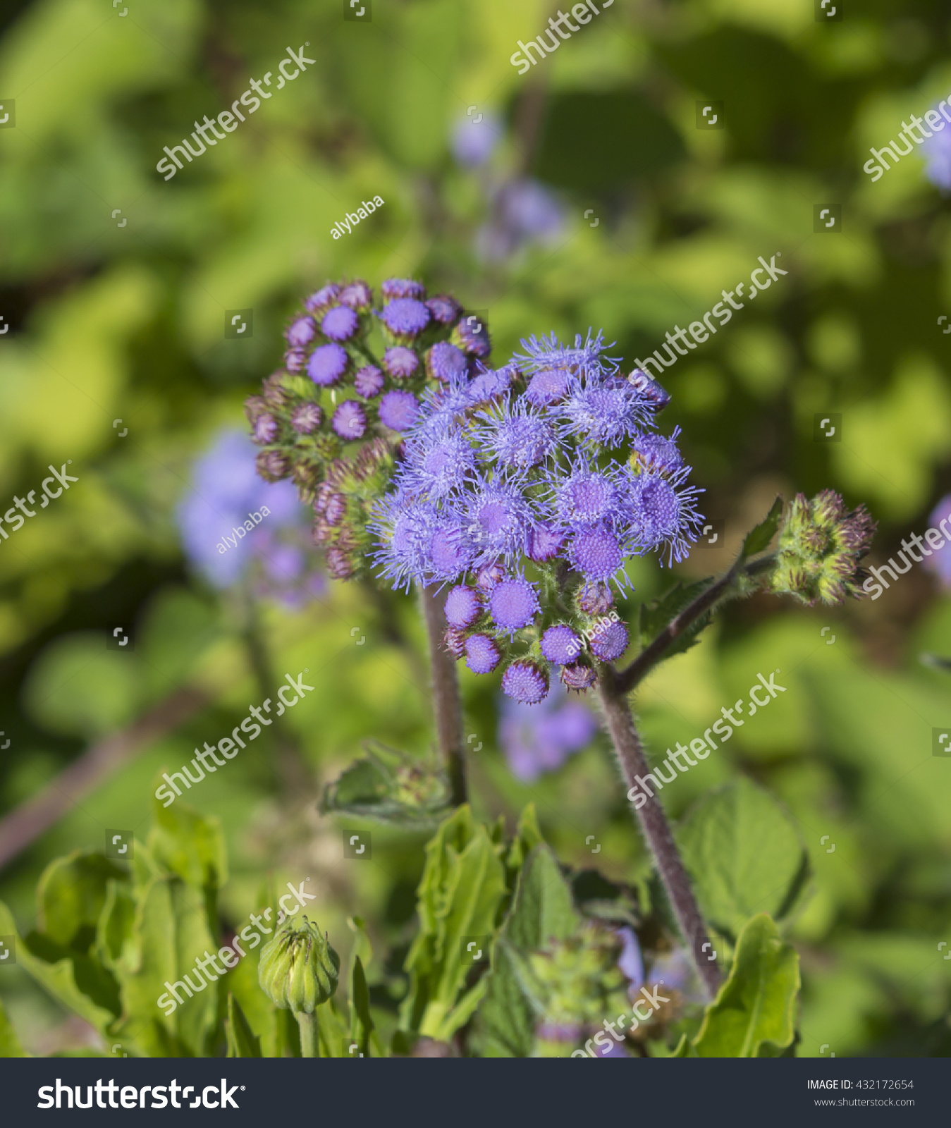 Royalty Free Ethereal Misty Powder Blue Flowers Of 432172654 Stock