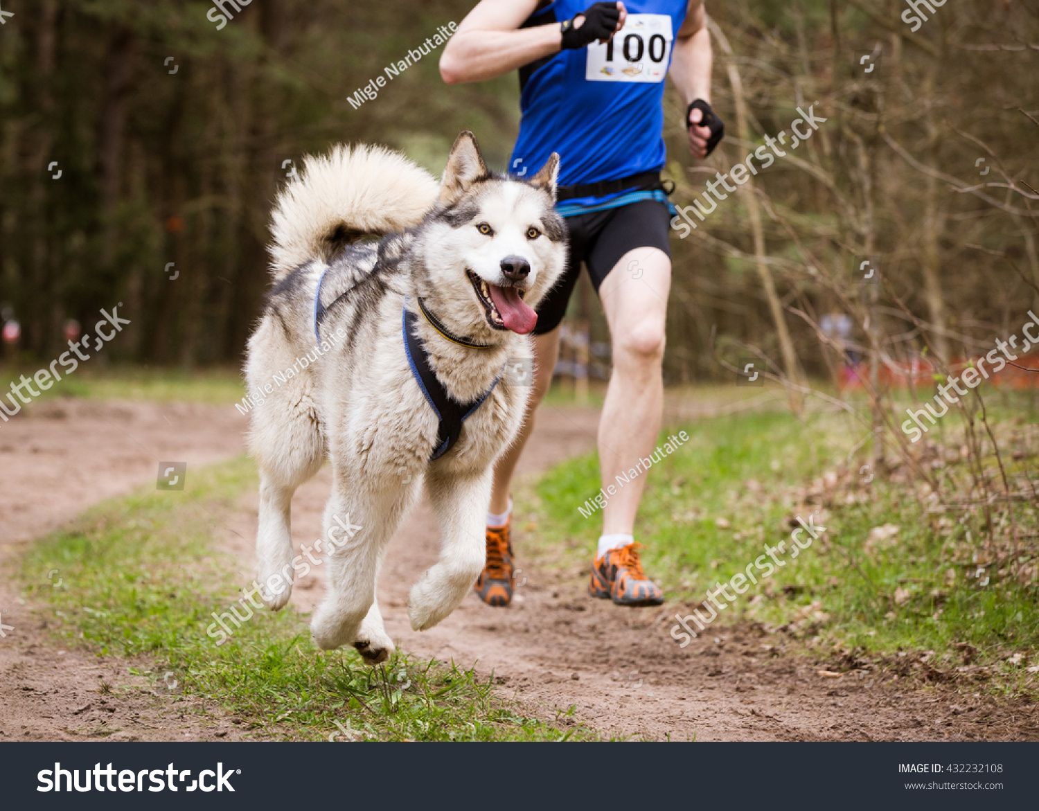 Sled Dog Sport Races canicross with Siberian Husky and Musher #432232108