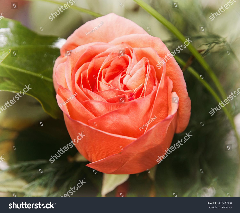 Close Photo Red Rose Flower Symbol Stock Photo Edit Now 432433930