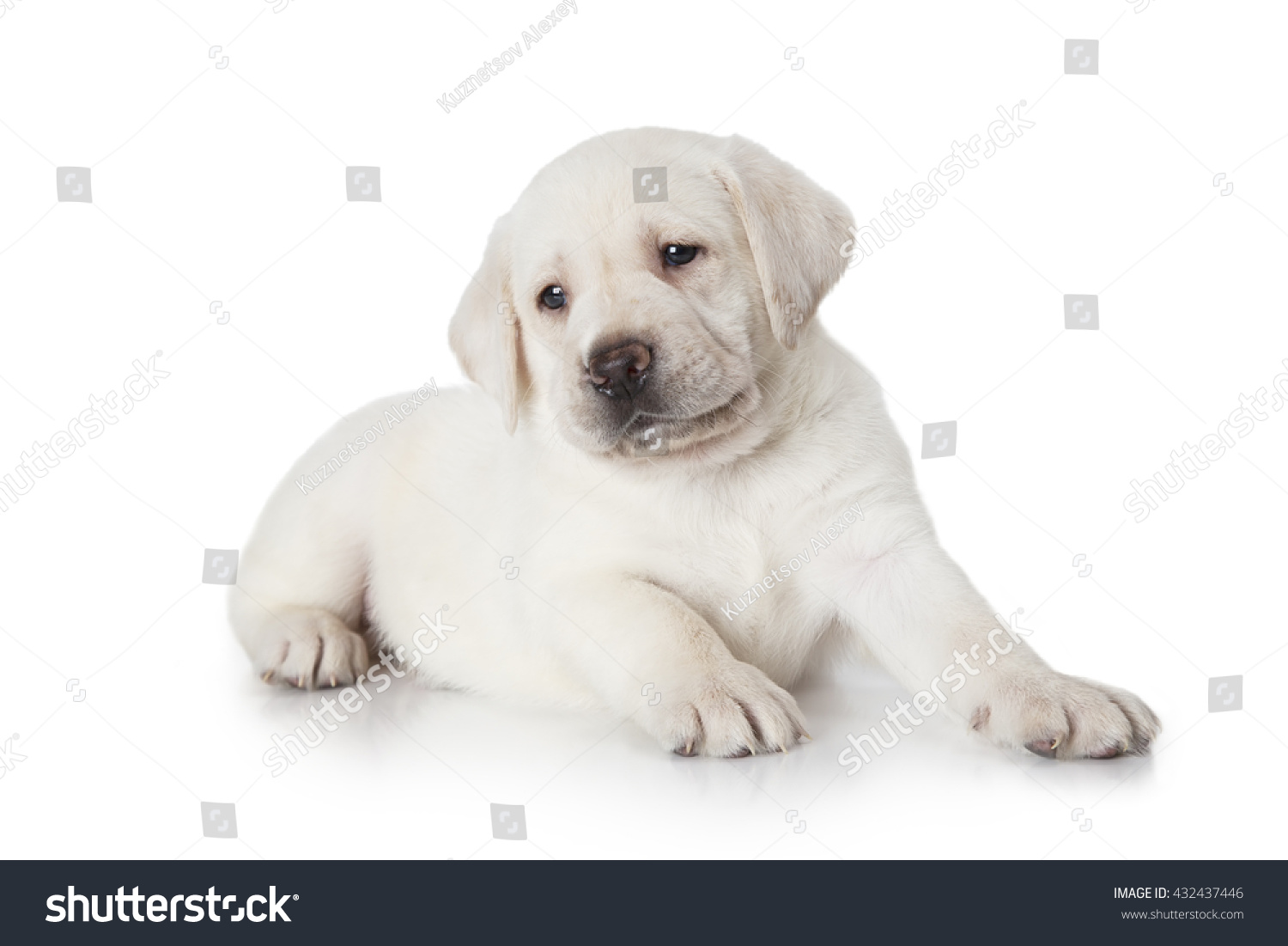 Six Weeks Old Purebred Labrador Puppy Dog Isolated On White