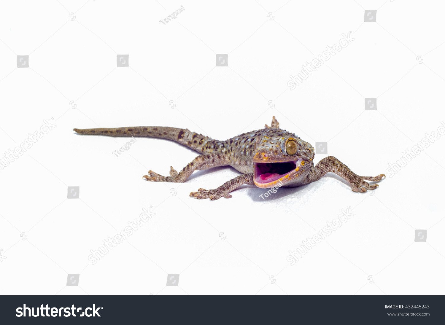 Geckos Lizards Eat Insects Animals Climbing Stock Photo Edit Now