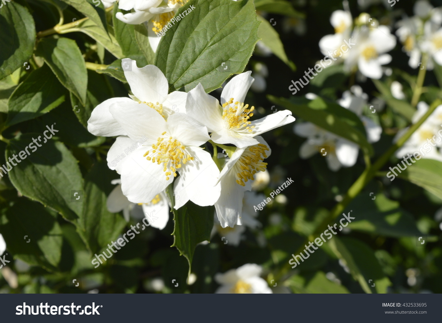 Jasmine Flowers White Flowers White Flowering Shrub Jasminum