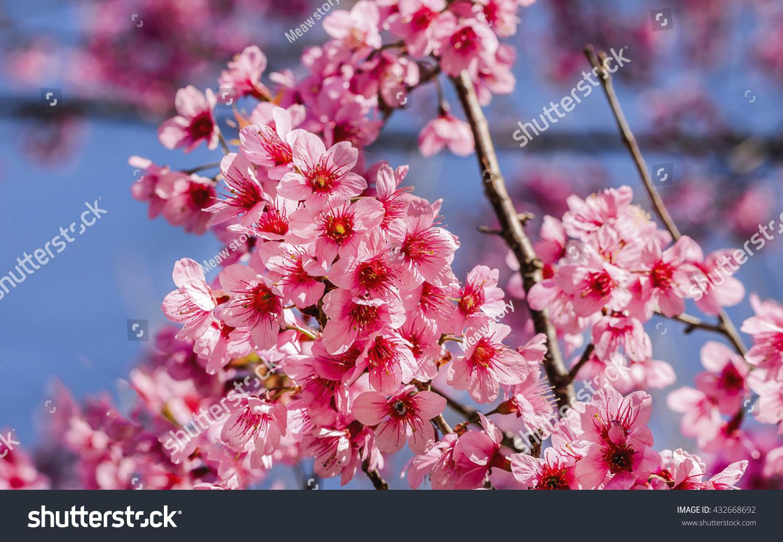 Beautiful pink flowers cherry blossom sakura stock photo 432668692 beautiful of pink flowers cherry blossom or sakura flower on soft blur background dhlflorist Images