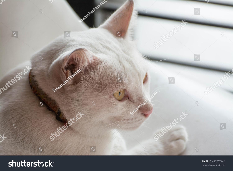 Face Cute White Cat White Stock Shutterstock