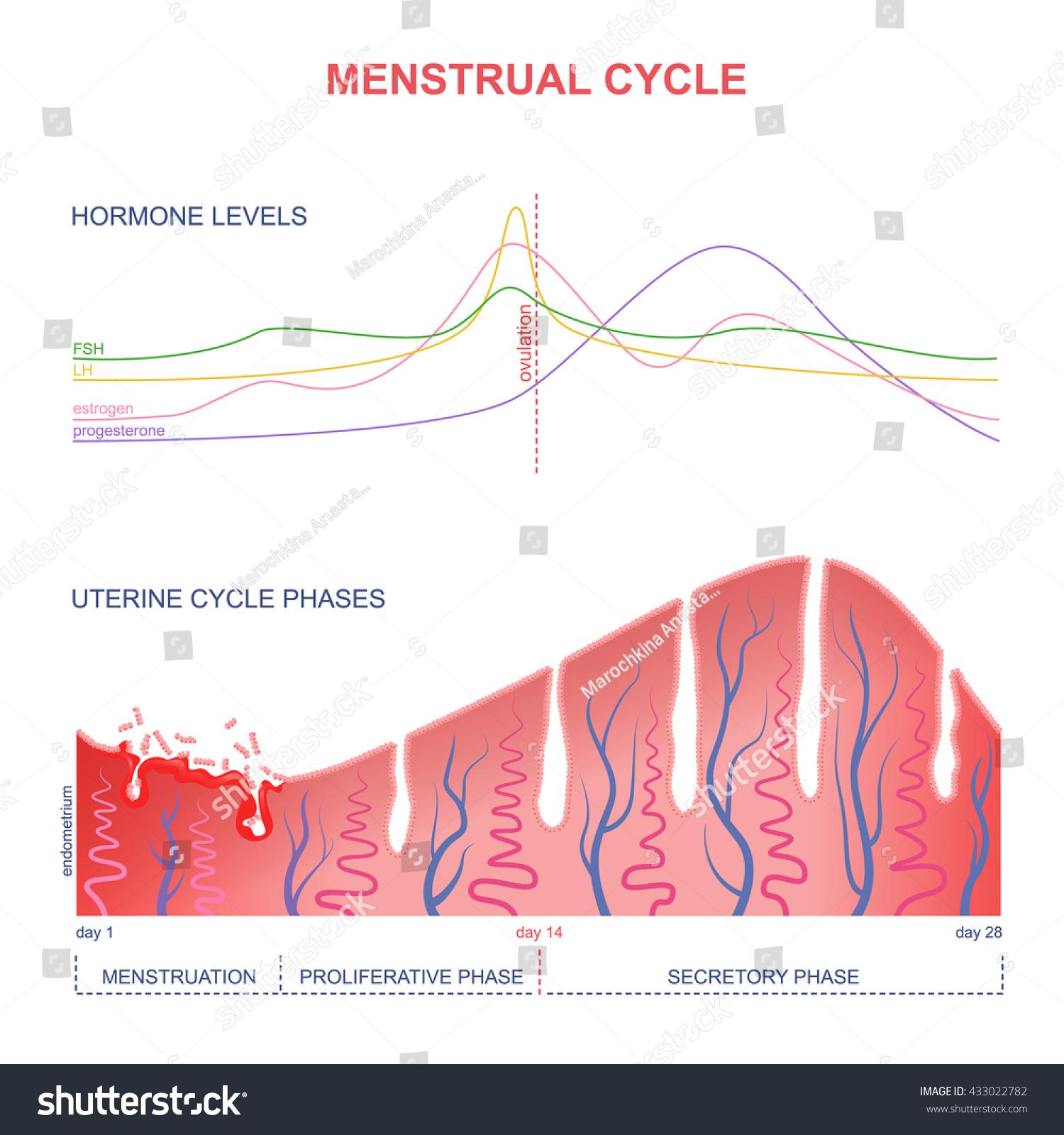 Scheme Menstrual Cycle Level Hormones Female Stock Vector -7375