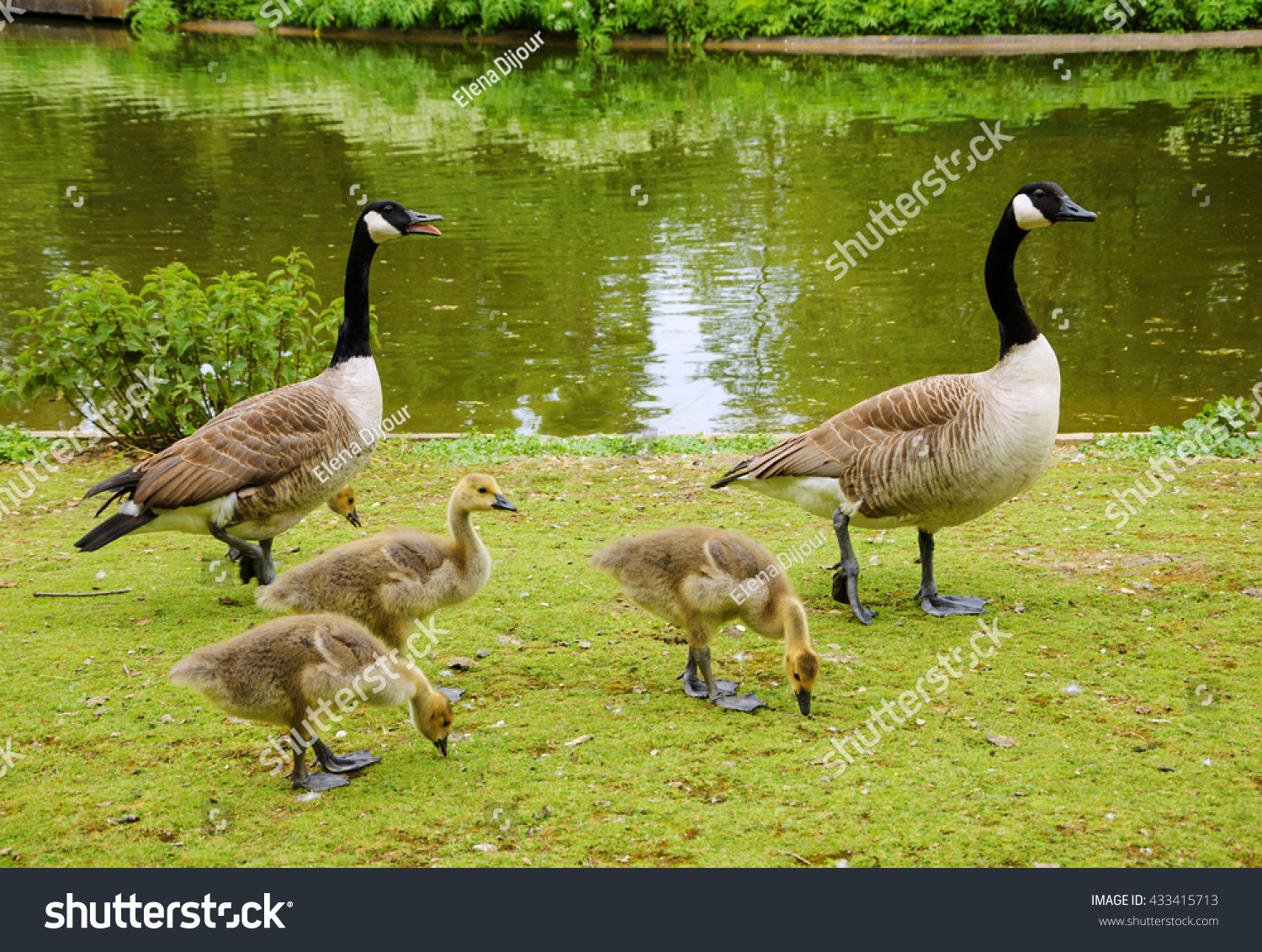 Canada Goose mens online shop - Canada Goose (Branta Canadensis) Family Walking At Vincennes ...