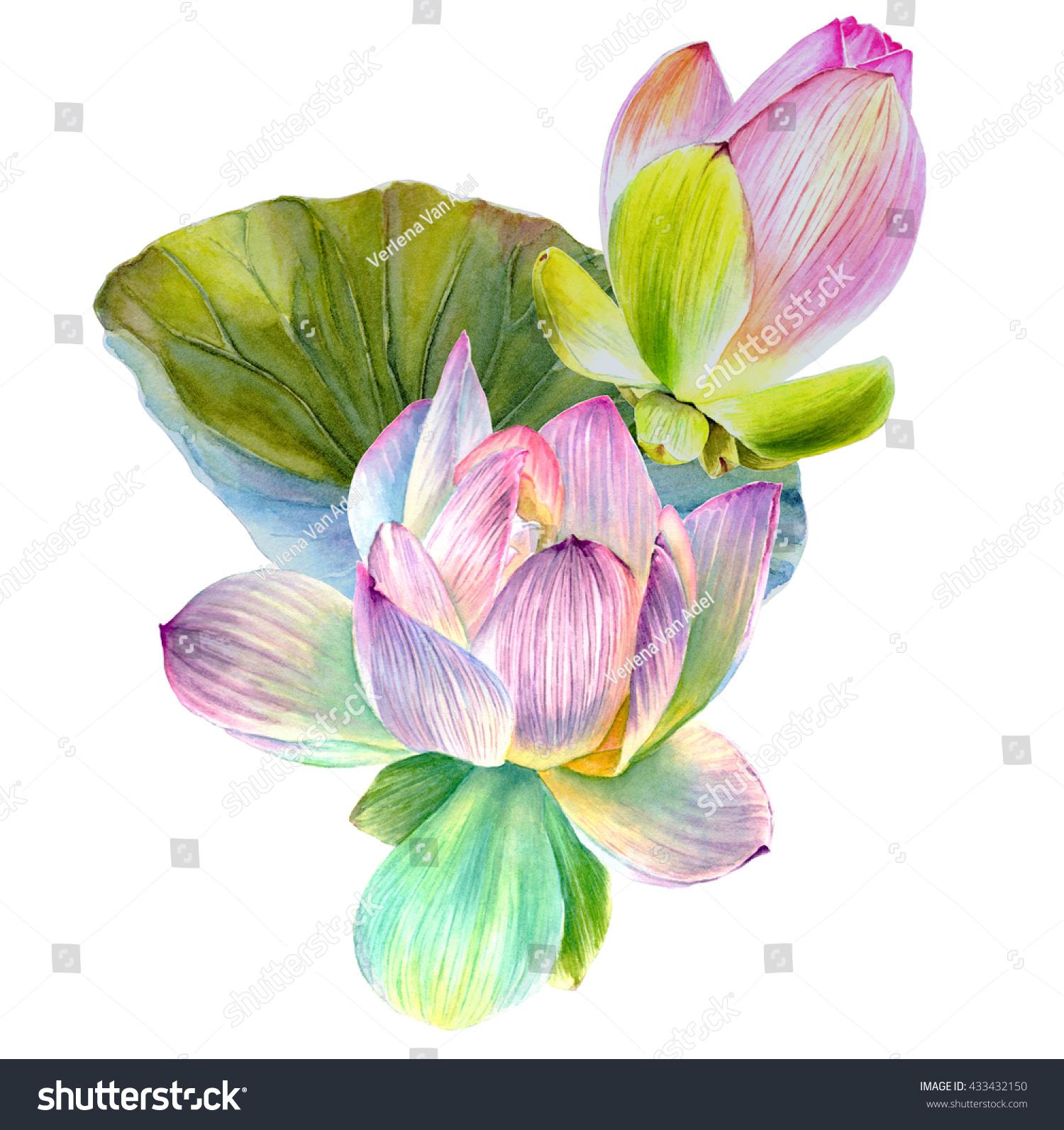 Water Lily Lotus Flower Leaf Hand Stock Illustration 433432150