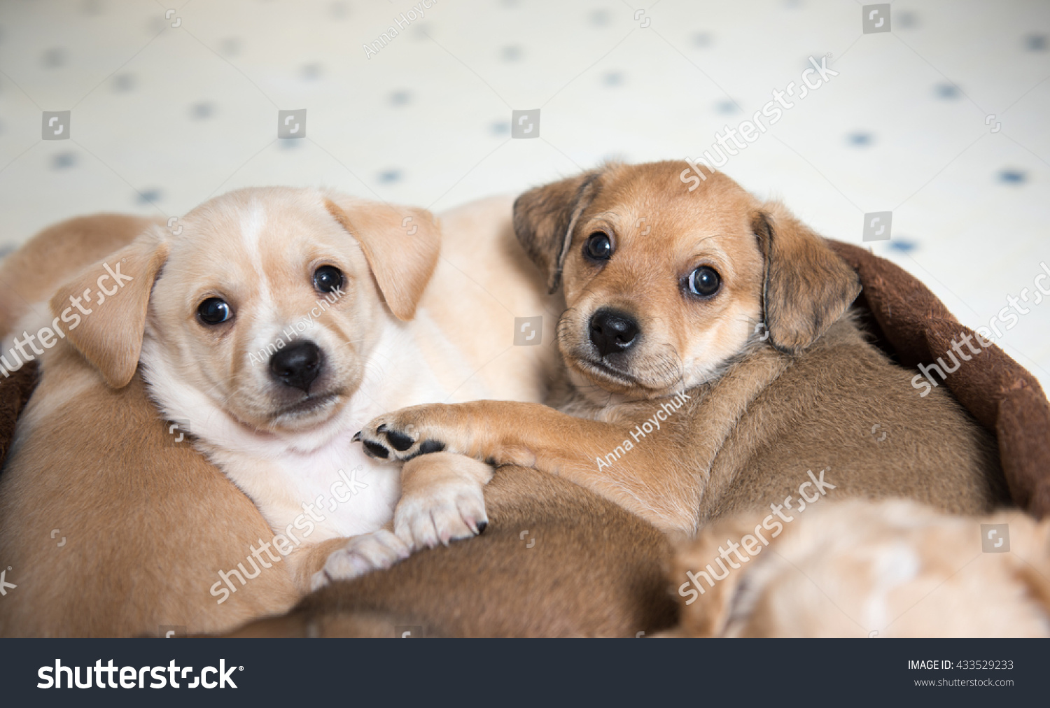 Two Terrier Mix Puppies Sleeping Dog Stock Photo - Puppies sleeping