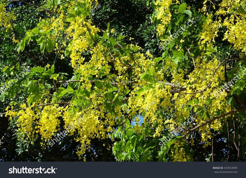 Beautiful Yellow Flowers Senna Tree Senna Stock Photo Royalty Free