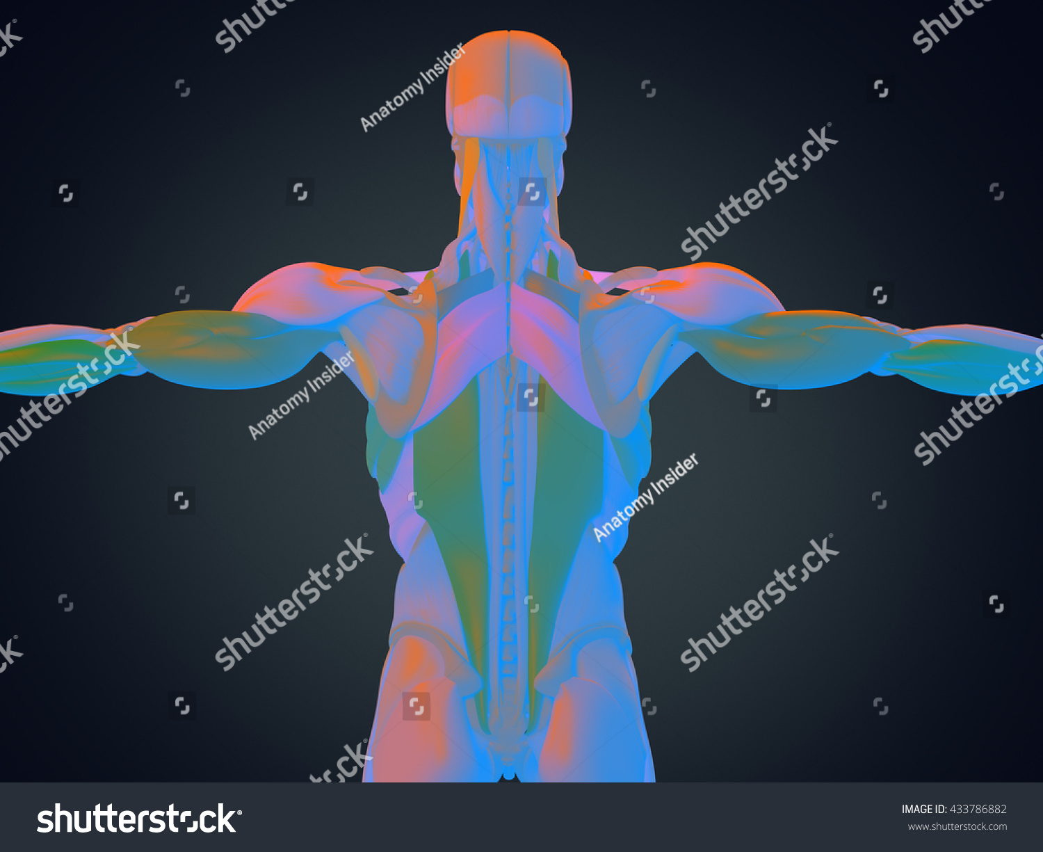 Human Anatomy Torso Back Muscles 3d Illustration Ez Canvas