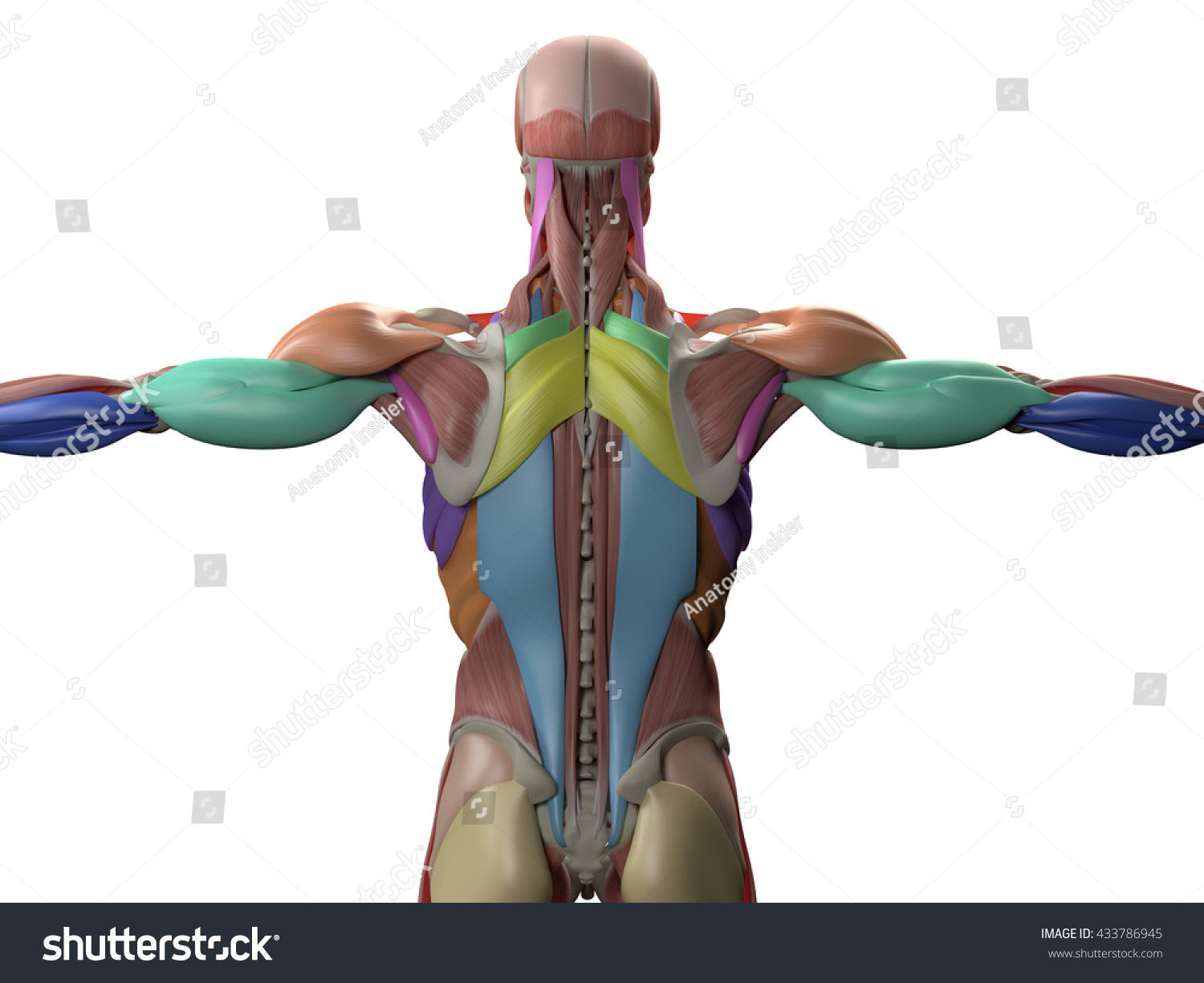 Human Anatomy Torso Back Muscles 3 D Stock Illustration Royalty