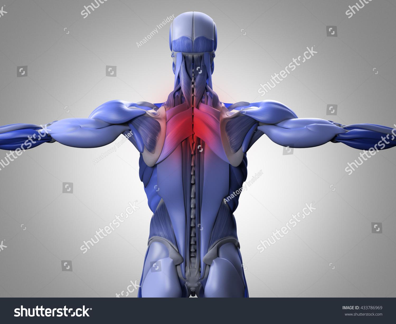 Human Anatomy Torso Back Muscles Pain Stock Illustration Royalty