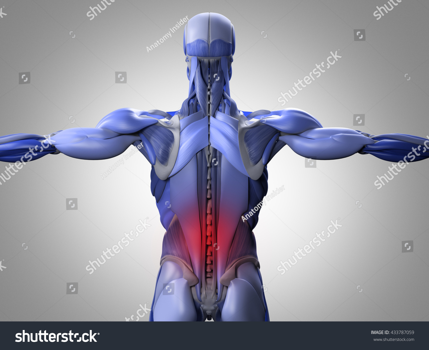 Human Anatomy Torso Back Muscles Pain Stock Illustration 433787059 ...