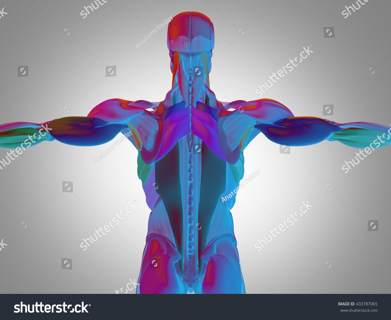 Human Anatomy Torso Back Muscles 3d Illustration Ez Canvas