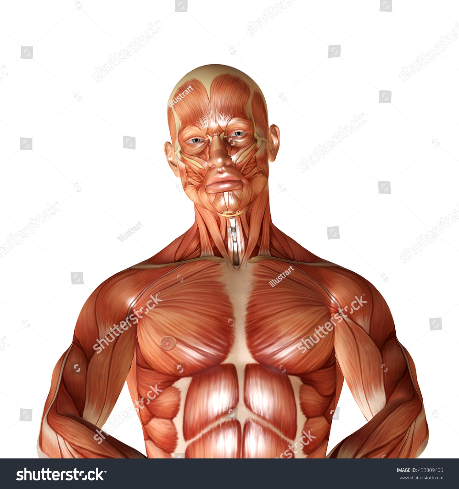 Royalty Free 3d Render Of A Male Muscular Anatomy 433809406 Stock