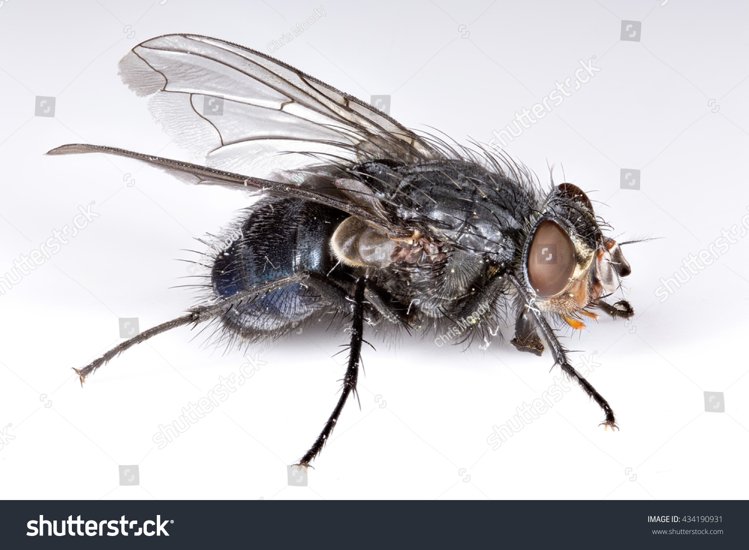 Extreme Close House Fly Musca Domestica Stock Photo (Safe to Use ...