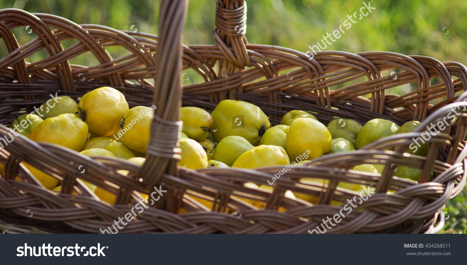 Japanese quince ripe fruits basket stock photo 434268511 japanese quince ripe fruits basket stock photo 434268511 shutterstock biocorpaavc Image collections