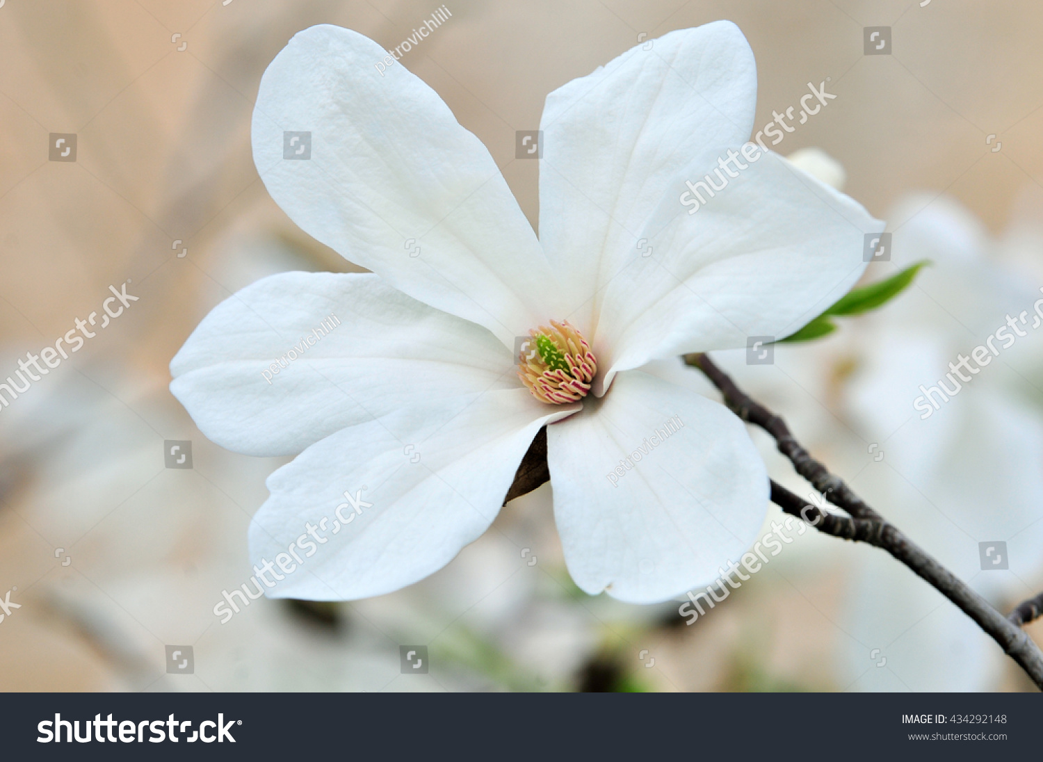 Spring Magnolia Tree Branch With Large White Flowers Ez Canvas