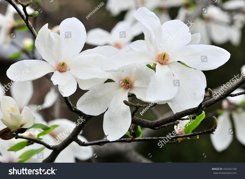 Spring Magnolia Tree Branch Large White Stock Photo Edit Now