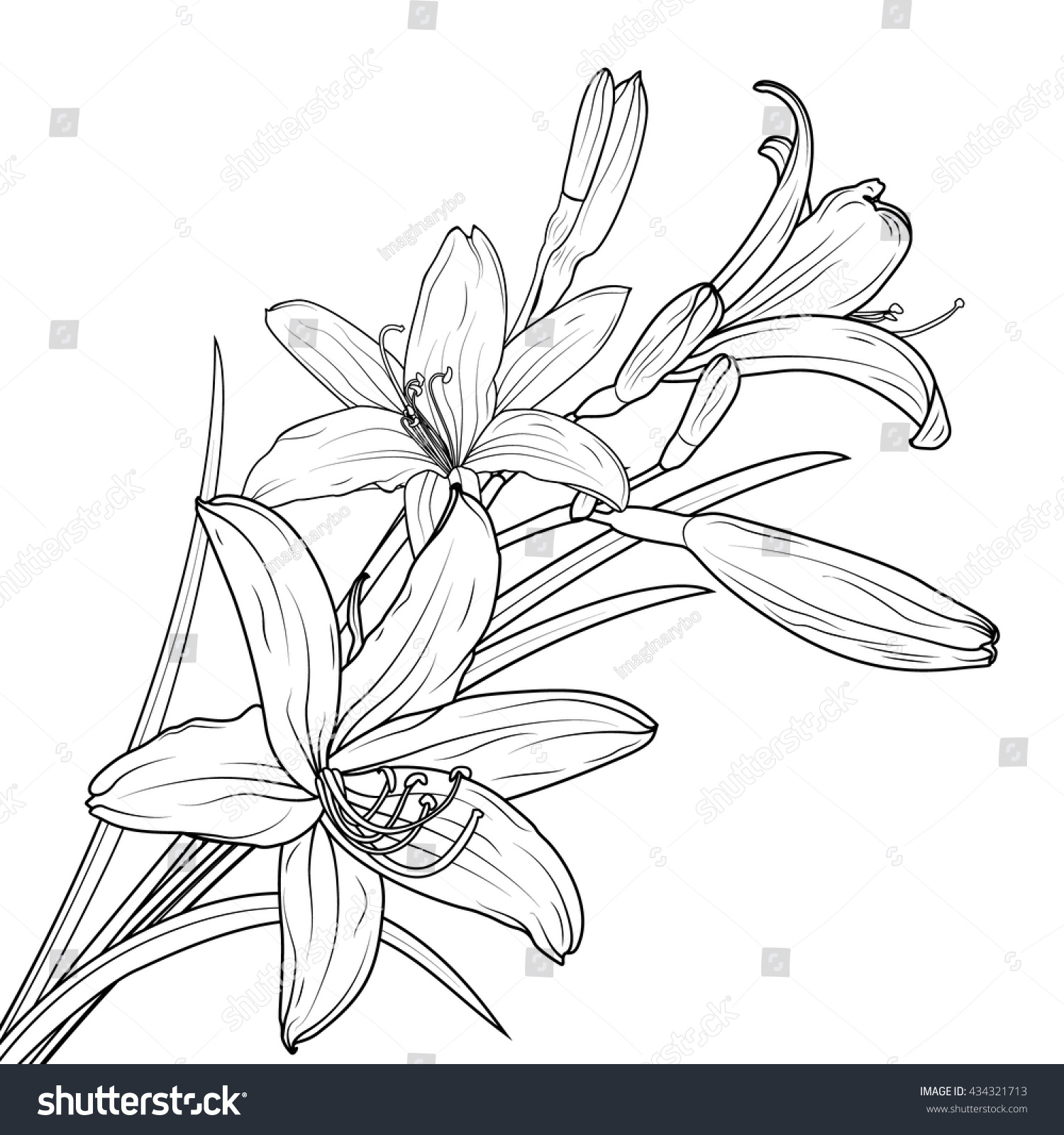 Isolated lily flowers bouquet blooming and buds on stem with leaves black and white