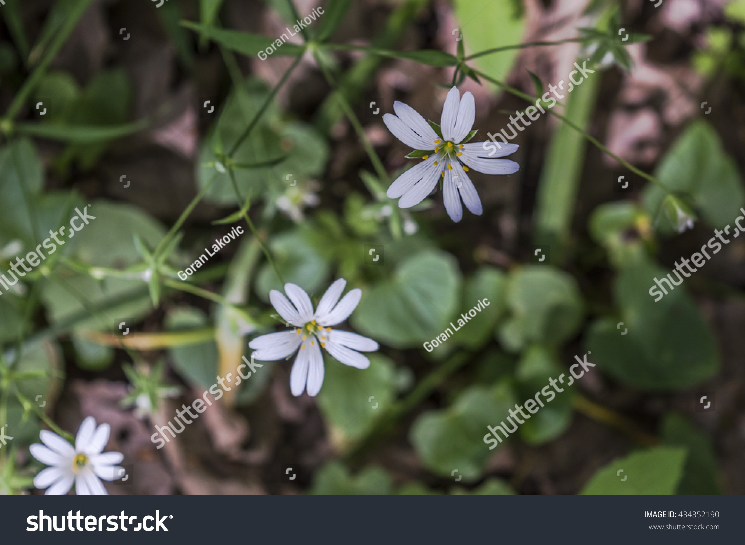 Three Small White Flowers Five Double Stock Photo Edit Now