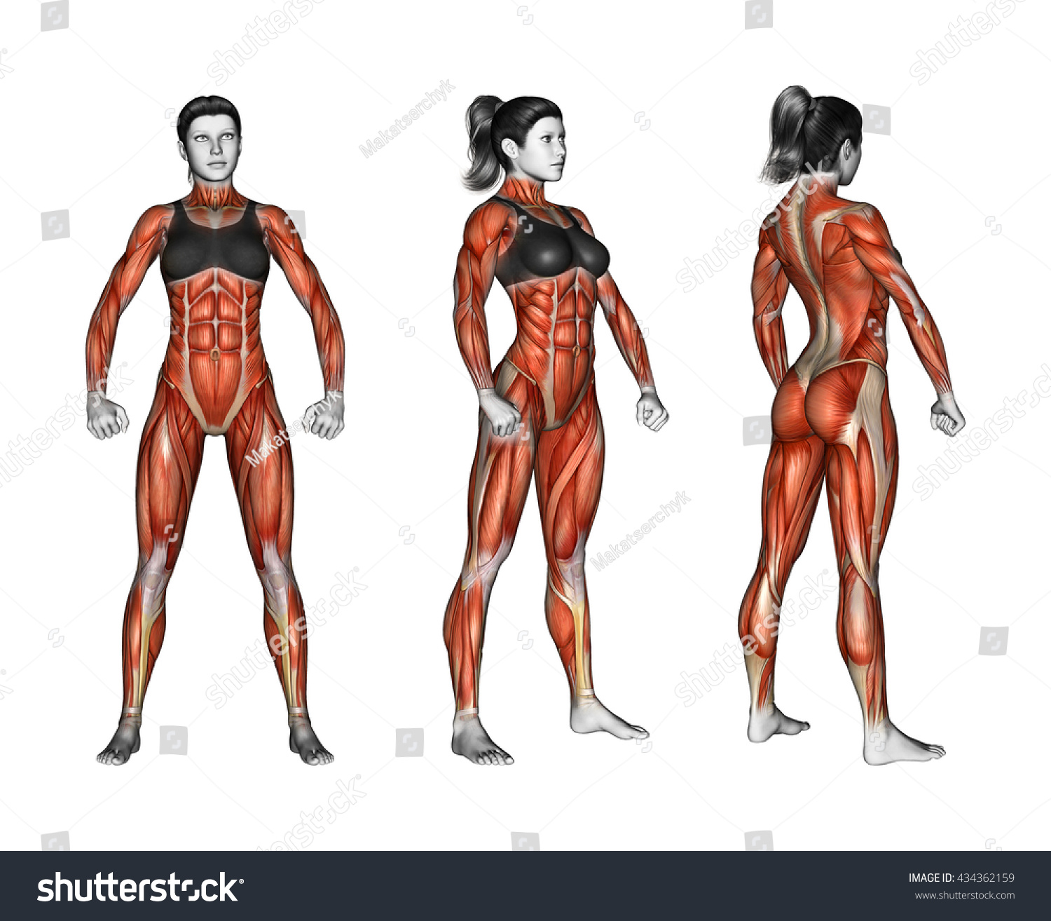 Projection Human Body Showing All Muscle Stock Illustration