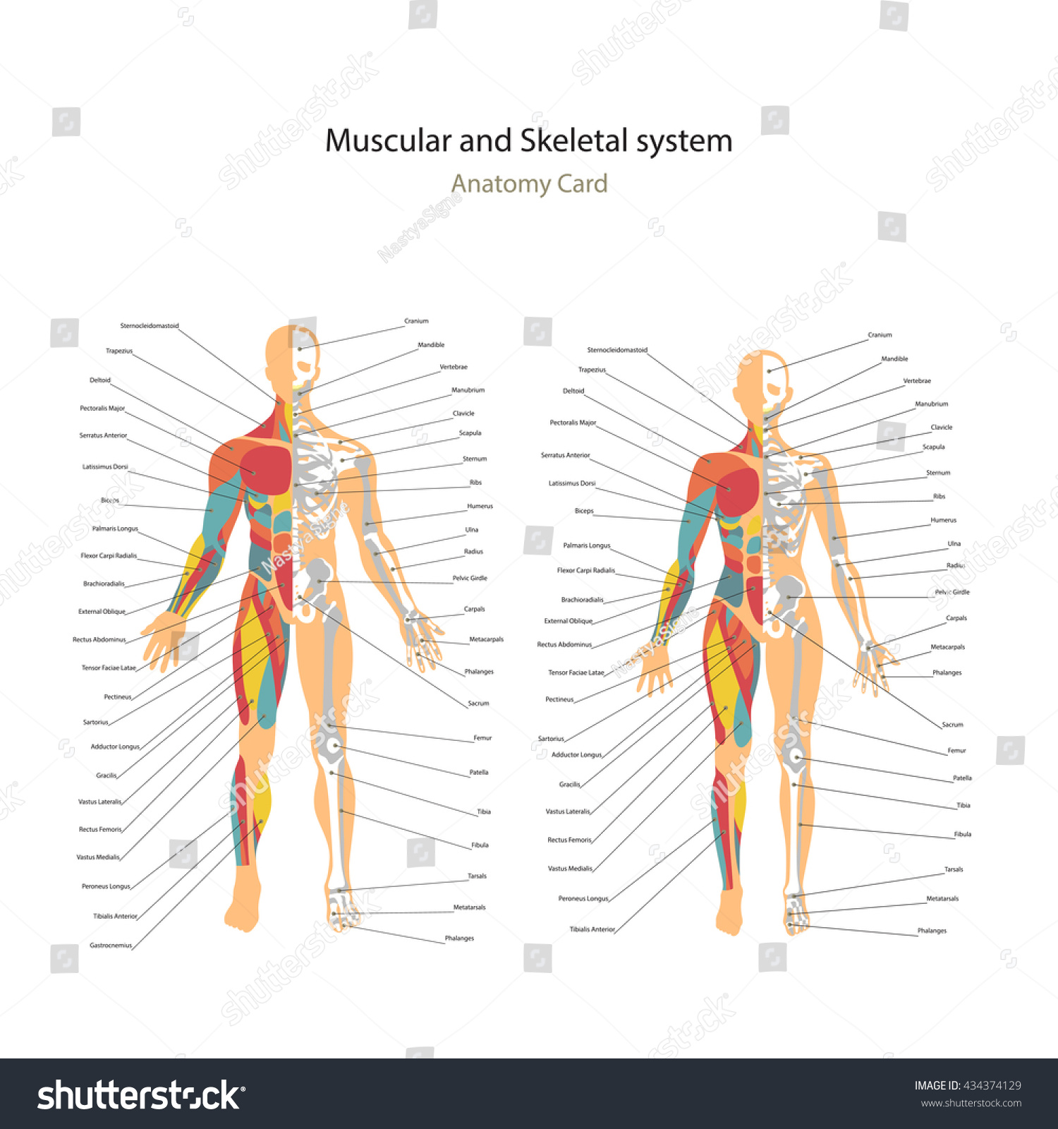 Male Female Muscle Bony System Charts Stock Vector 434374129 ...