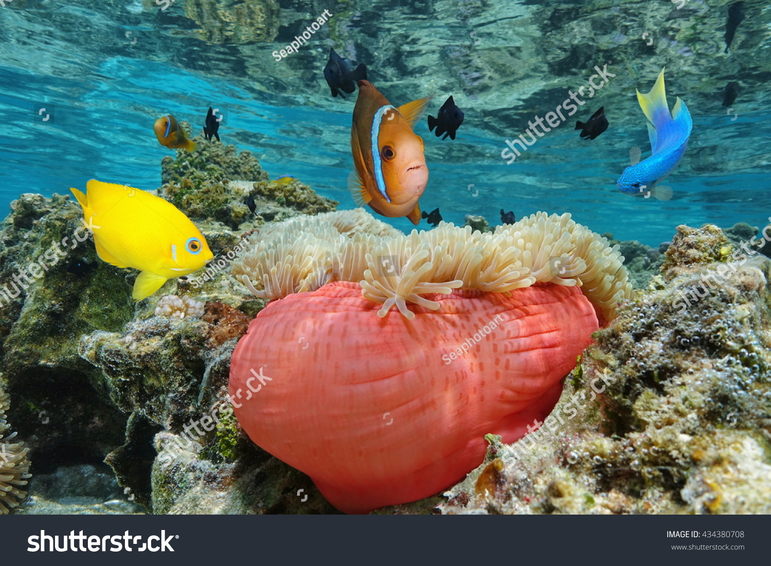 Colorful Tropical Fish Magnificent Sea Anemone Stock Photo (100 ...