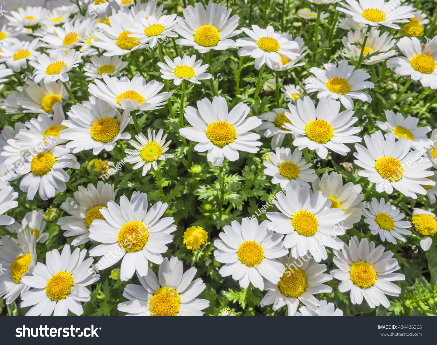 Blooming Japanese White Cosmos Flowers Nature Stock Photo Edit Now