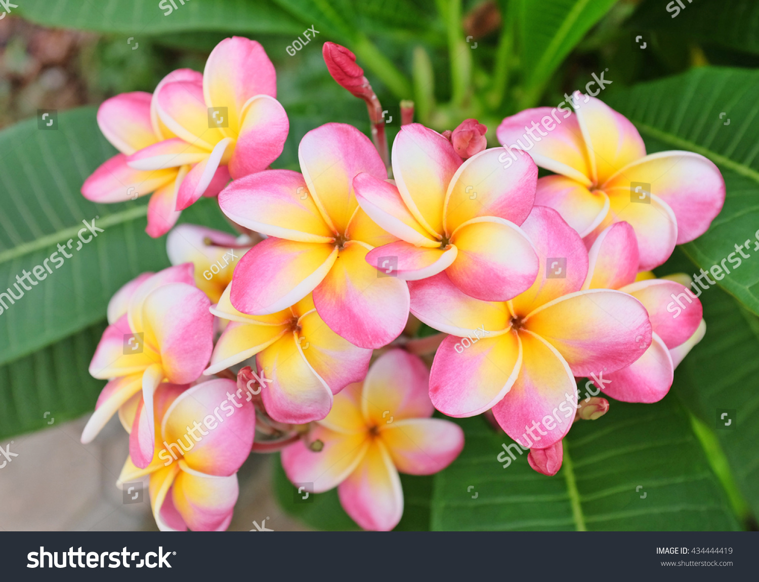 Plumeria flower pink white frangipani tropical stock photo plumeria flower pink and white frangipani tropical flower plumeria flower blooming on tree spa dhlflorist Gallery