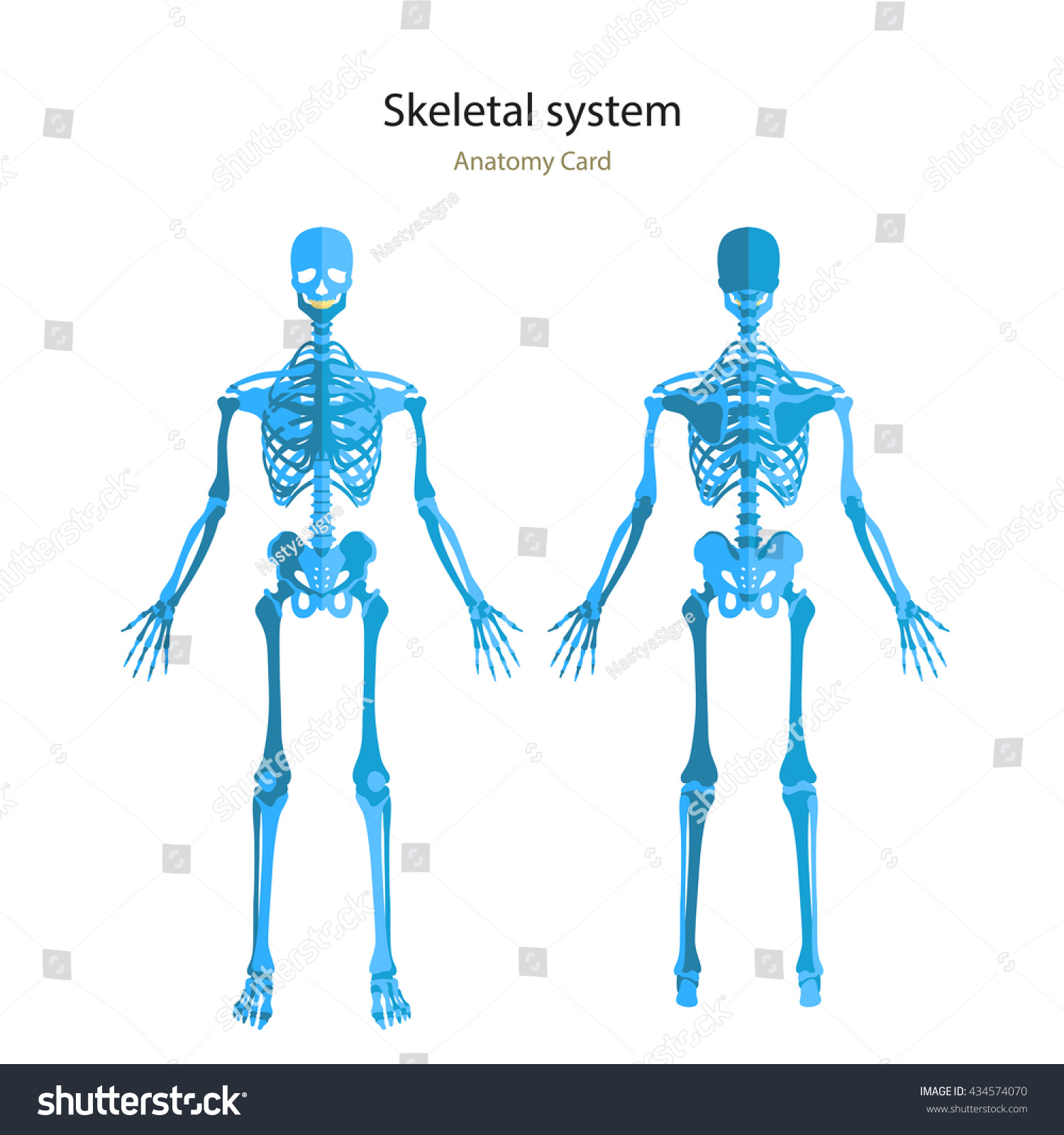 Human Skeletal System Anatomy Guide Human Stock Vector Royalty Free