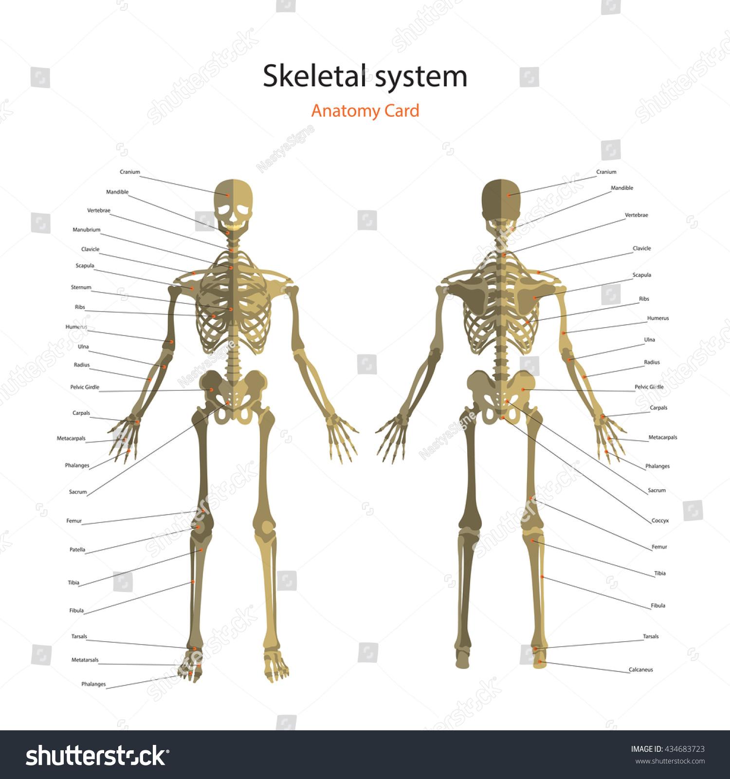 Anatomy Guide Human Skeleton Explanations Anatomy Stock Vector