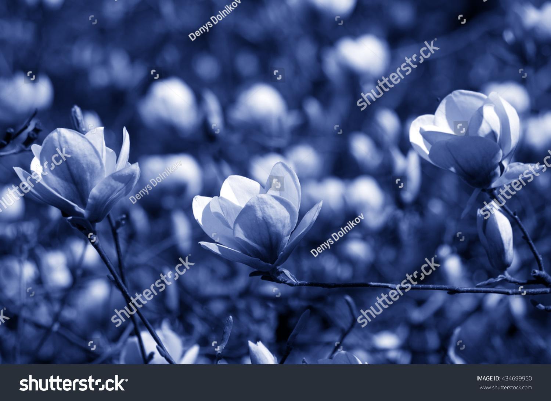 Beautiful night flowers magnolia tree stock photo edit now beautiful night flowers of a magnolia tree izmirmasajfo