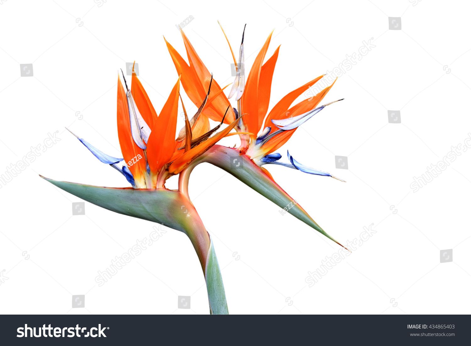Double headed strelitzia bird paradise flower stock photo edit now double headed strelitzia or bird of paradise flower isolated on white background mightylinksfo