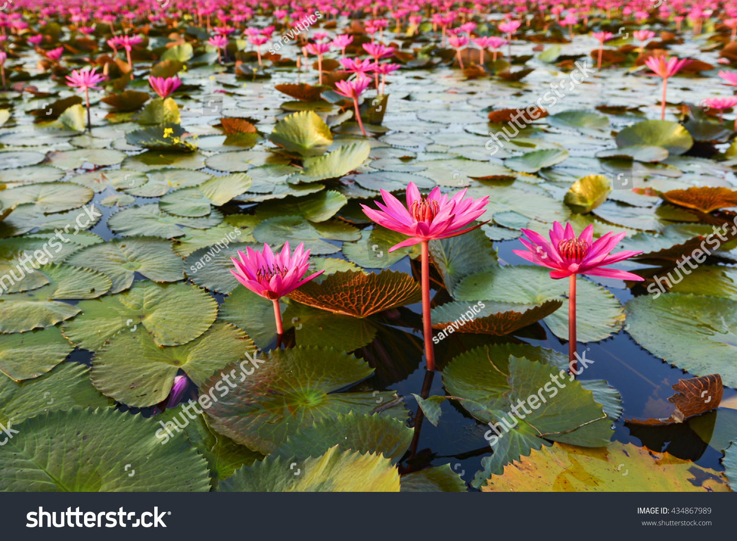 Beautiful Lotus Flower Complimented By Rich Stock Photo (Edit Now ...