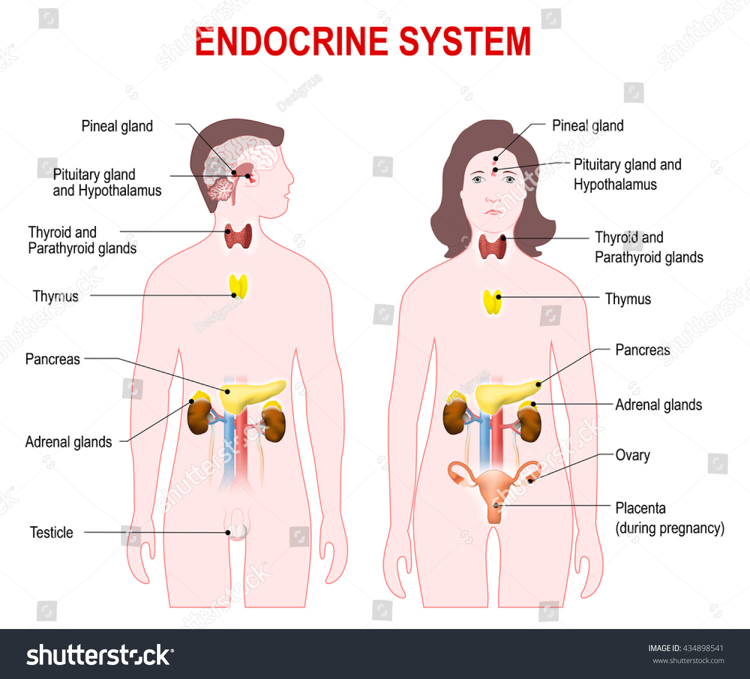 Endocrine System Man Woman Silhouette Highlighted Stock