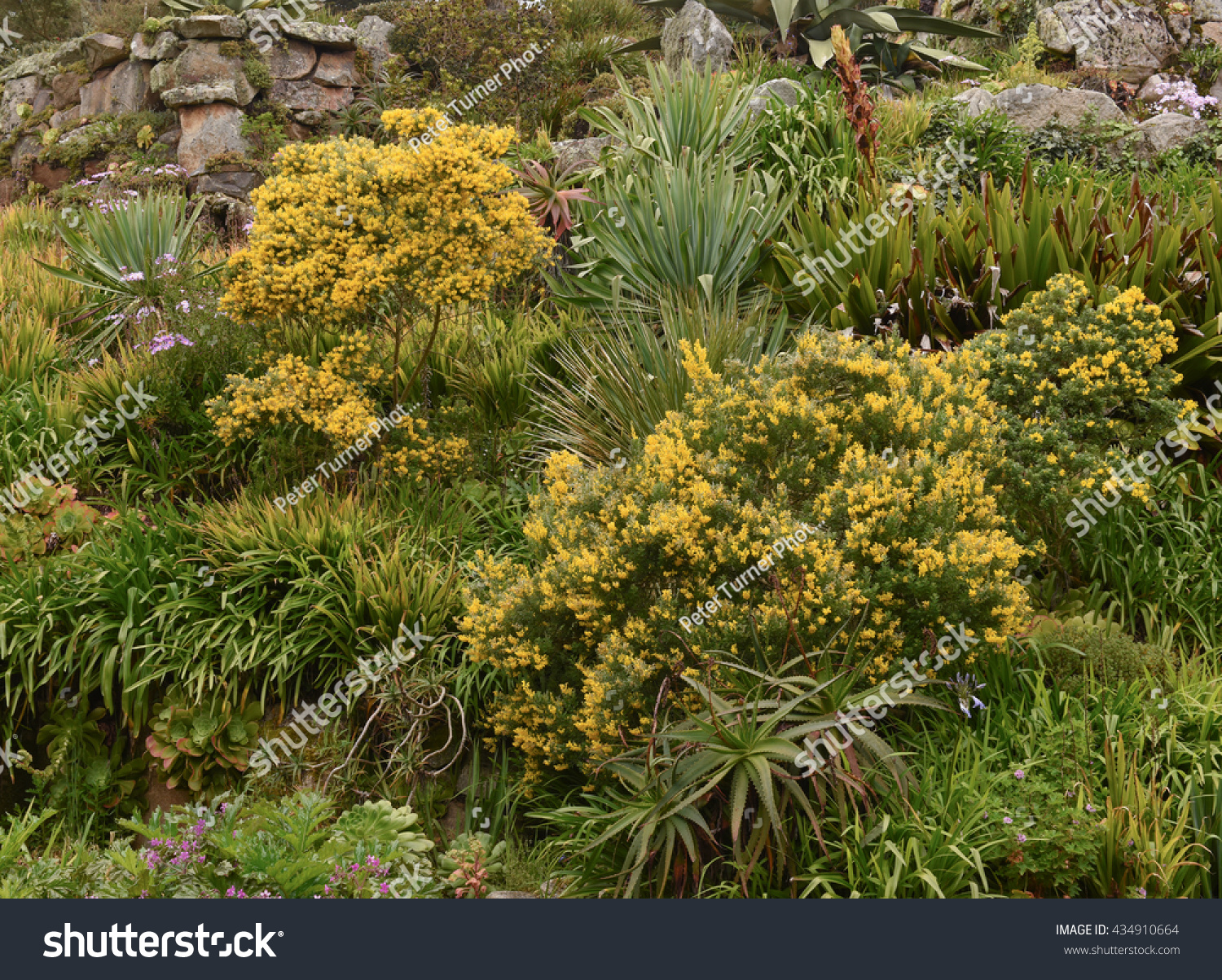 Yellow Flowering Acacia Racosperma Garden On Stock Photo Edit Now