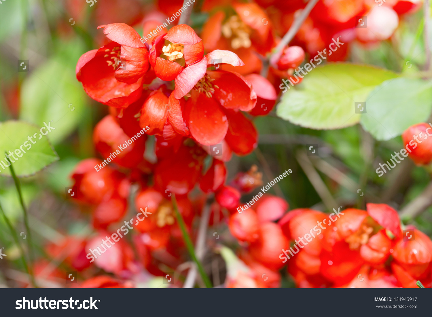 Red flowers japanese quince through grass stock photo 434945917 red flowers of the japanese quince through a grass flowers have blossomed and are biocorpaavc Image collections