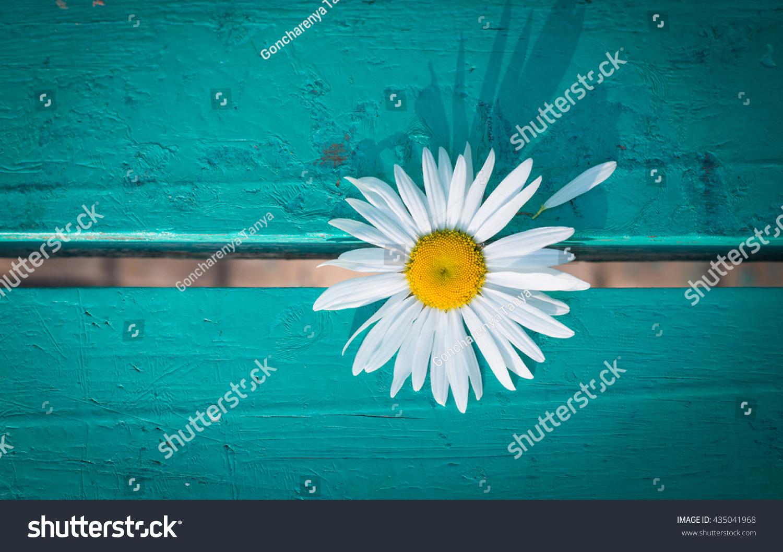 Daisy flower on wooden board torn stock photo edit now 435041968 daisy flower on a wooden board with a torn petal izmirmasajfo