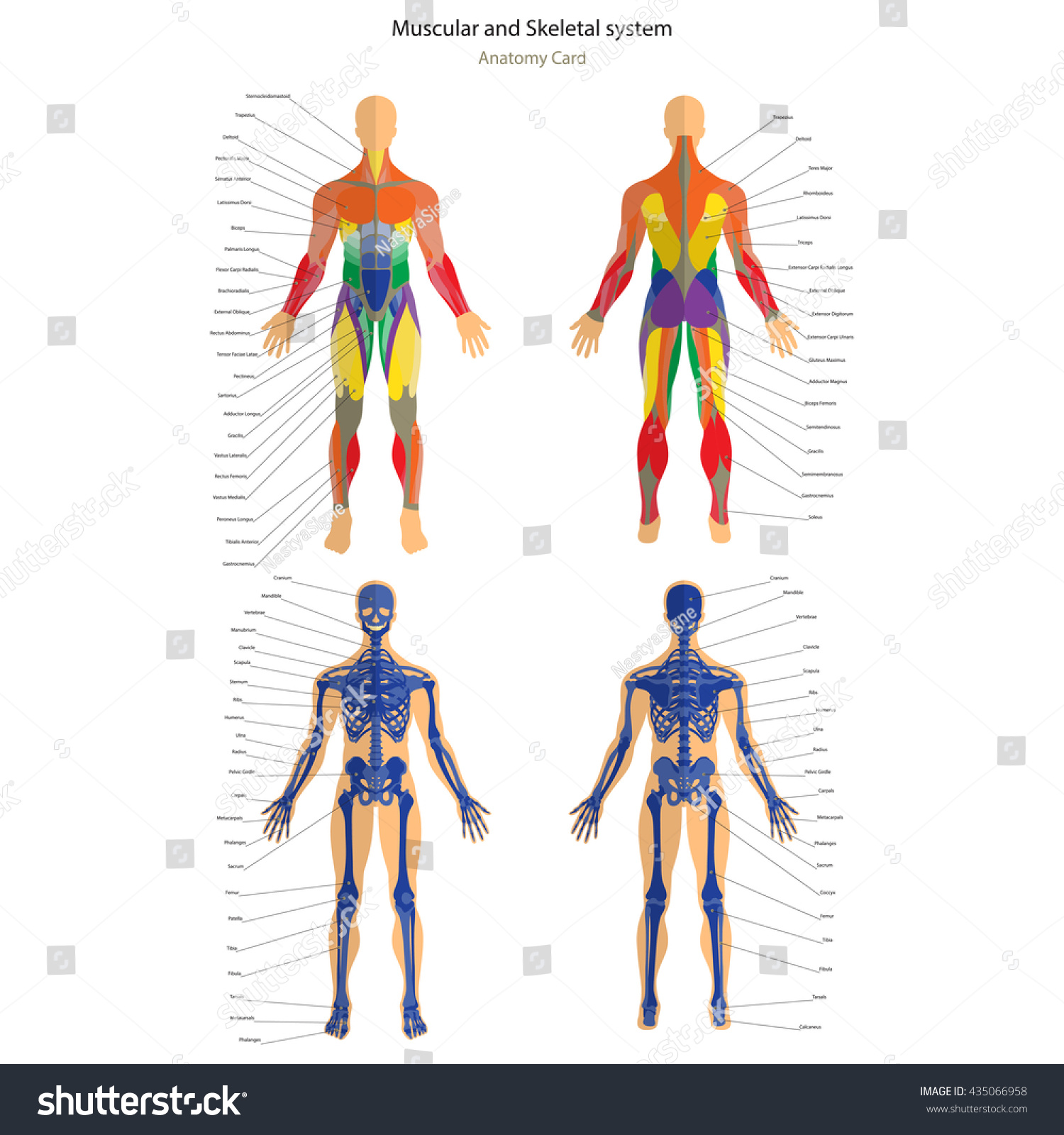 Anatomy Guide Male Skeleton Muscular System Stock Photo Photo