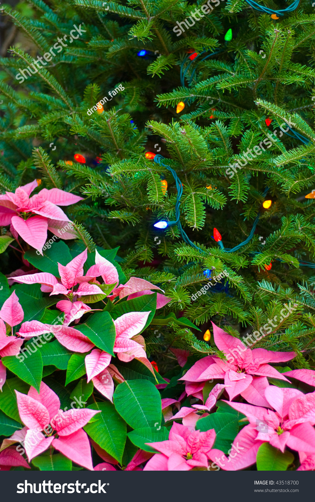 A poinsettia used to frame a christmas tree stock photo for Poinsettia christmas tree frame