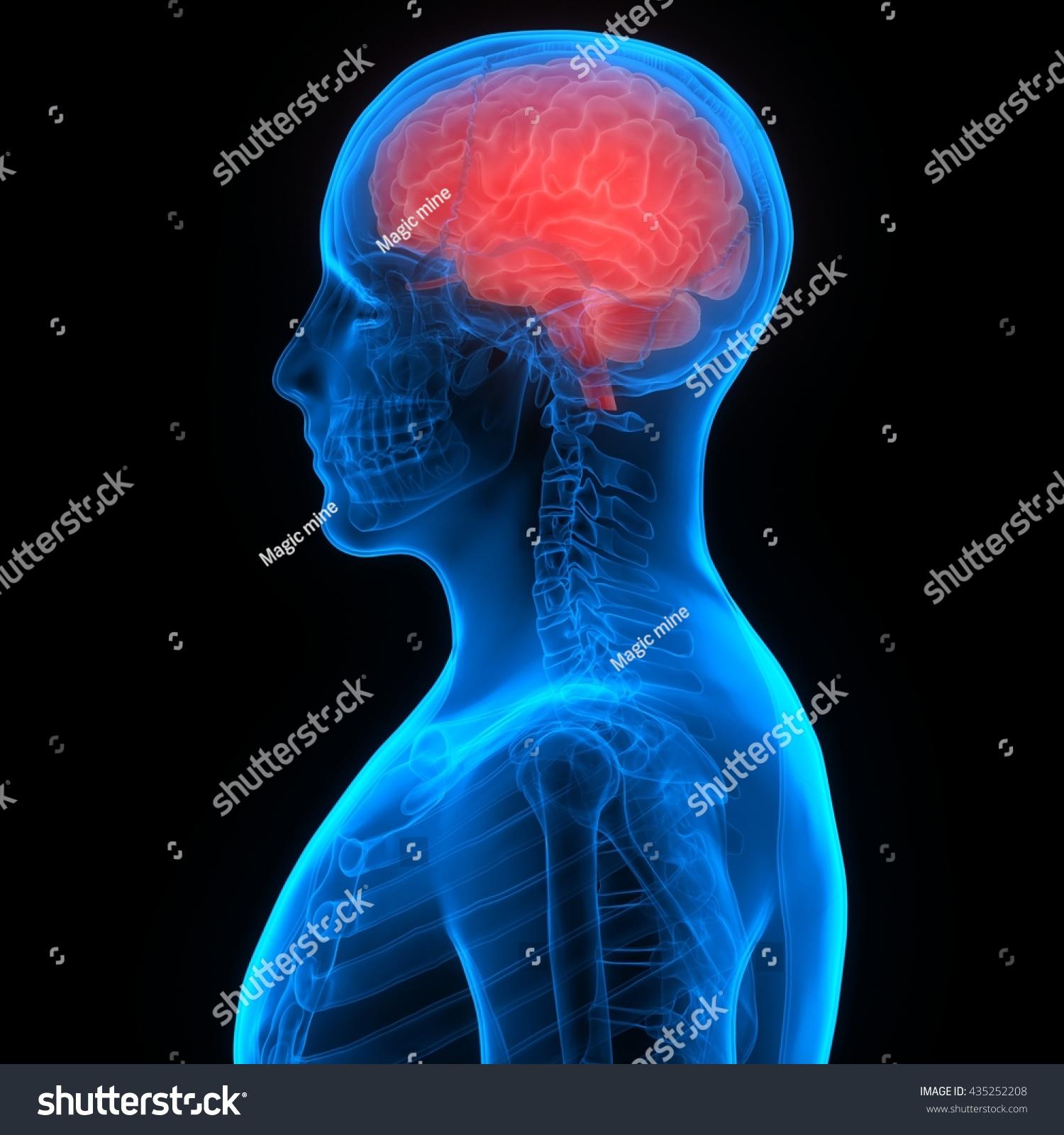 Human Brain Anatomy 3 D Stock Illustration 435252208 - Shutterstock