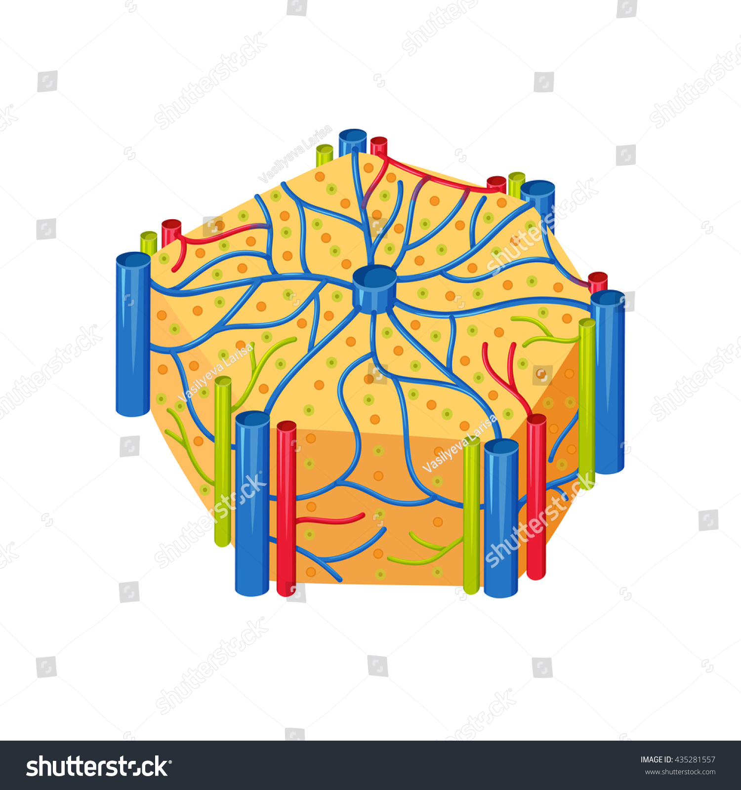 Human Liver Lobes Anatomy Medical Science Stock Vector 2018