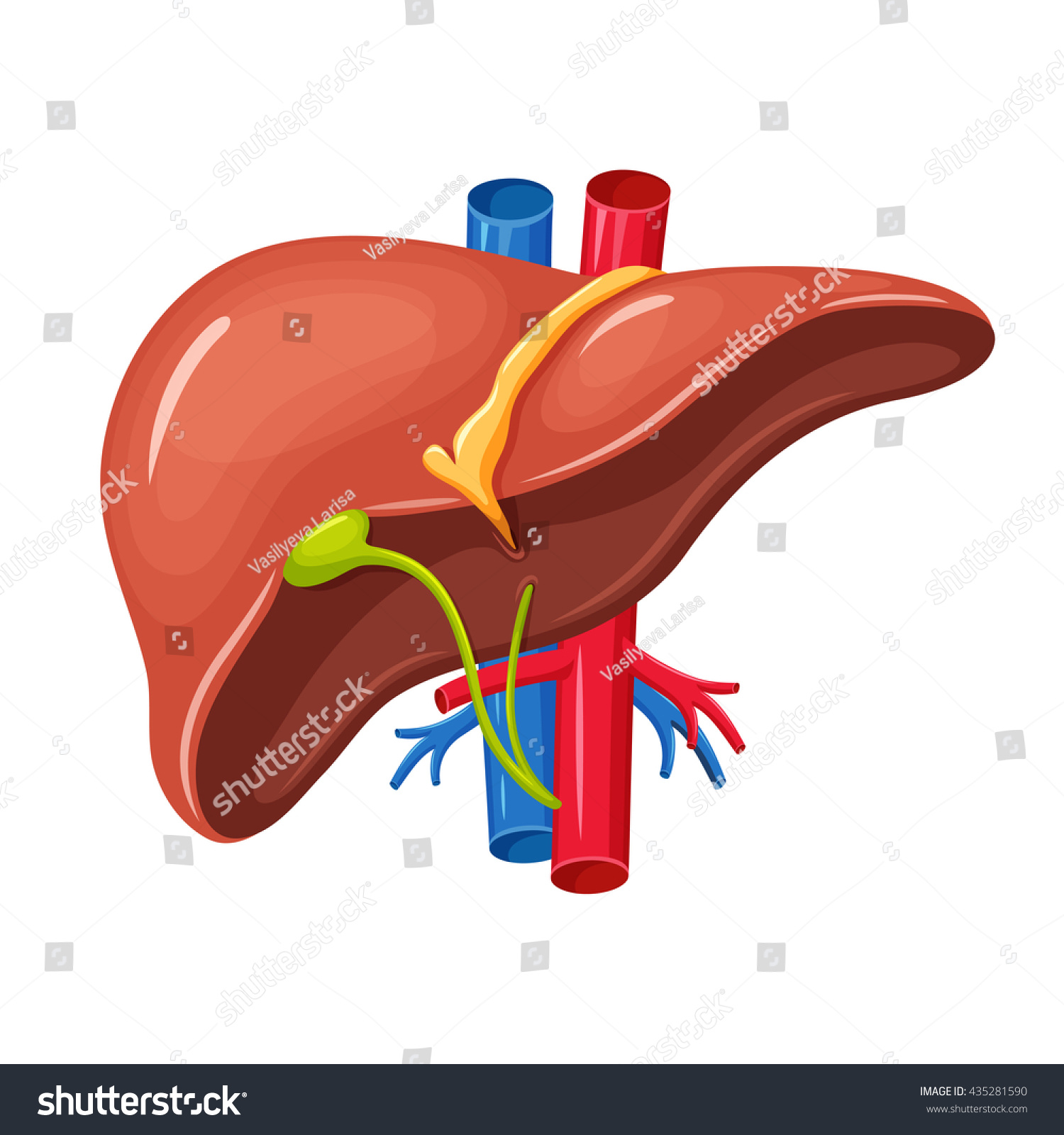 Human Liver Anatomy Medical Science Vector Stock Vector 435281590 ...