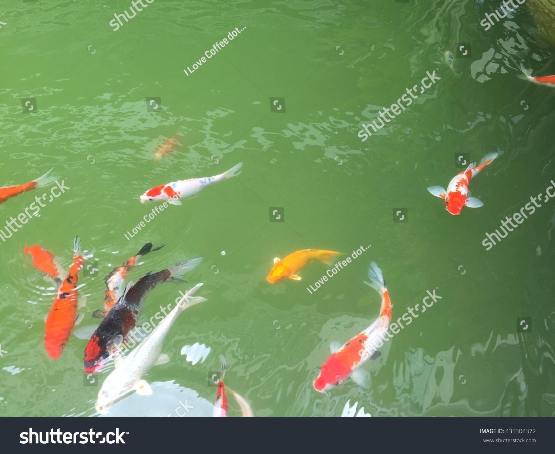 Colorful Fancy Carp Fish Koi Fish Stock Photo 435304372 - Shutterstock
