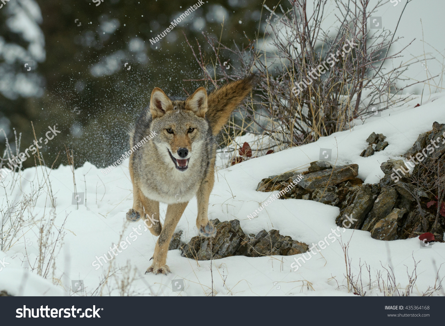 Coyote (Canis Latrans) - Running Stock Photo 435364168 ...  Coyote (Canis L...