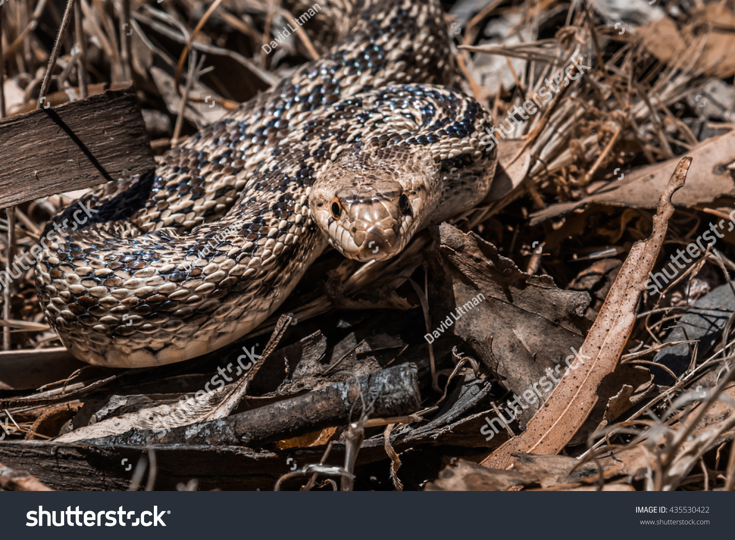 stock-photo-a-pacific-gopher-snake-pituophis-catenifer-is-poised-to-strike-in-the-hills-of-monterey-435530422.jpg